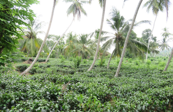 Small tea plantation for sale in a tranquil location
