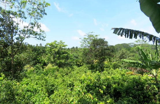 Cinnamon plantation for sale – 4.5 Acre