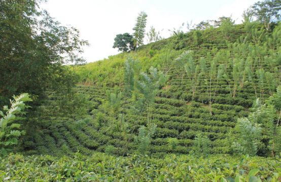 Tea estate for sale 17.5 acre